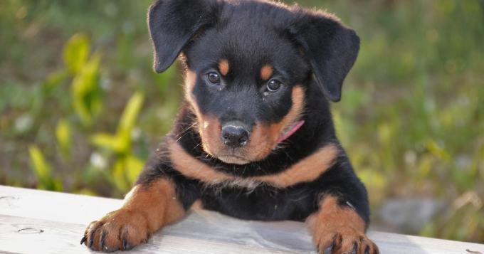 Koiranpennun kustannukset ovat ensimmäisenä vuotena tuhansia euroja - rotuvalinta voi moninkertaistaa kulut