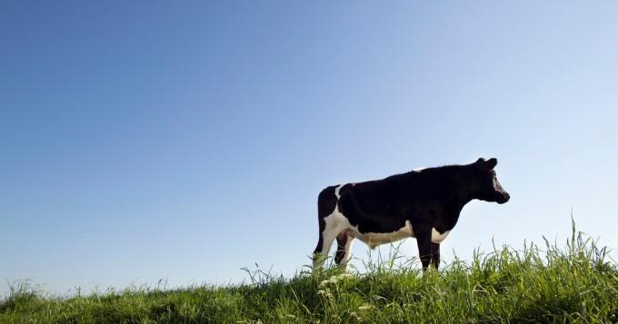 Nyt VR-lasit ovat käytössä jo lehmilläkin - toivotaan positiivista vaikutusta (kuva)