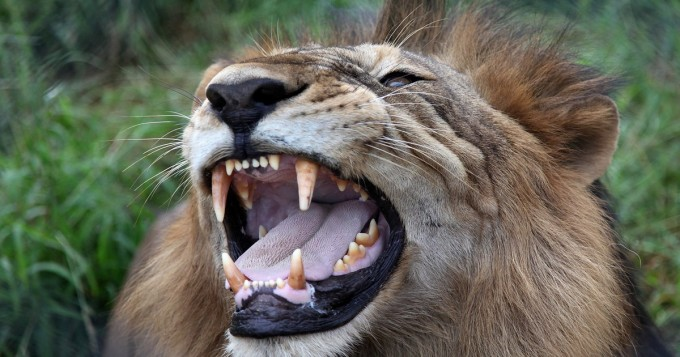 Leijona Suomessa