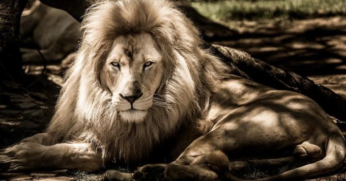 Sarvikuonojen salametsästäjä koki karun lopun - elefantti teki esityön ja leijonat loput