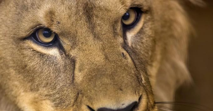 Eläintarhassa järkytys - leijonaemon teko kauhistuttaa