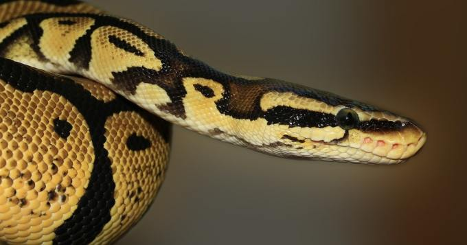 Kahden lapsen äiti löytyi kuolleena - asui 140 käärmeen kanssa