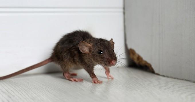 """Rotta nakertaa yhä useammin kalliin vahingon - """"Kustannuksiltaan yli 10 000 euron jyrsijävahingot eivät ole tavattomia"""""""