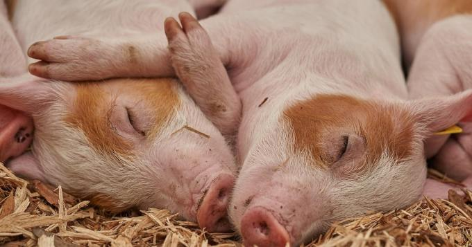 Kadonnut maanviljelijä saattoi löytyä - omat siat söivät?