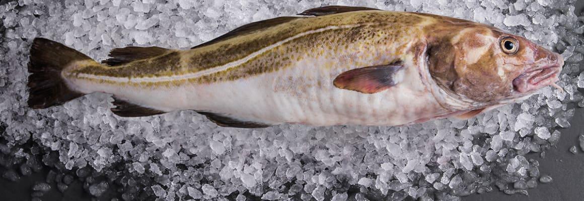Sustainable Cod