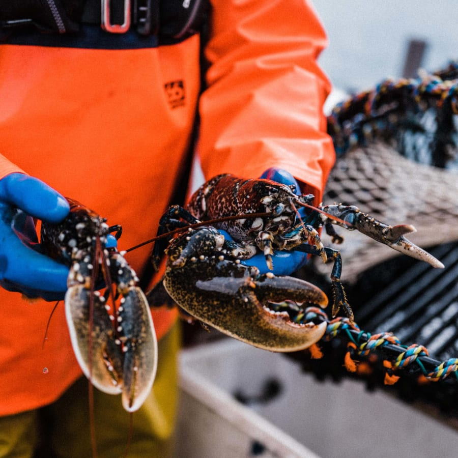 Freshly pot caught sustainable Cornish lobster