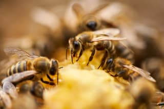 A swarm of honeybees feeds on the honeycomb inside their beehive.