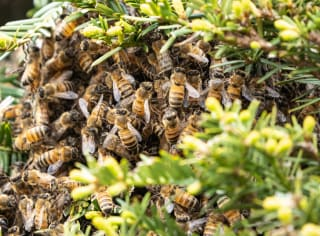 Bees swarm around an active beehive hanging inside of a bush here in Phoenix, Arizona.