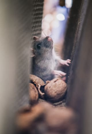 Rats and mice are hardy survivors that can find shelter in various points of your home, subsisting off crumbs, other pests, pet food, and more.