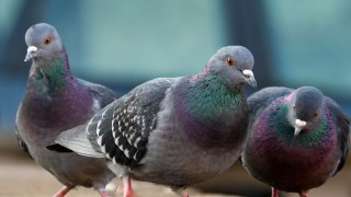 They might seem harmless, but pigeons are actually a major threat to the Valley's homes and businesses.