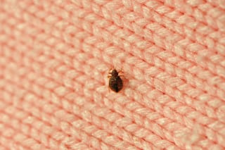 A solitary bed bug on a pink wool blanket inside of a Phoenix, Arizona home.
