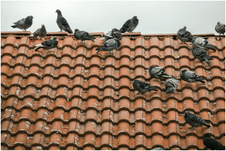If your pigeon problems are this extensive, you need to call us for humane pigeon prevention here in the Valley.