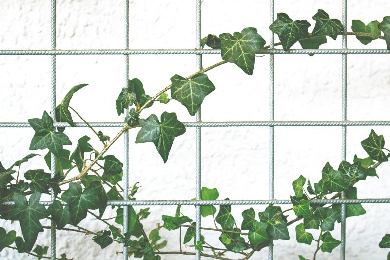 beginner house plants, ivy is easy to look after, common easy house plants