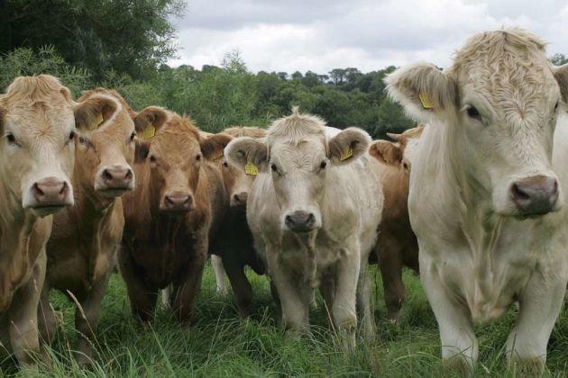 Ireland cattle
