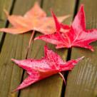 """Red platanus leaves"" stock image"