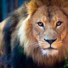 """Lion Face"" stock image"