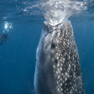"""Whale shark - extreme suction"" stock image"