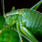 """Spotted Bush Cricket"" stock image"