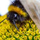 """Foraging Bee"" stock image"
