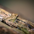 """""""a tiny frog"""" stock image"""