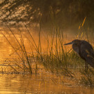"""Goliath Heron Fishing In The Early Morning Glow"" stock image"