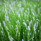 """Lavender Blue"" stock image"