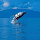 """Humpback whale breaching (Megaptera novaeangliae), Alaska, South"" stock image"