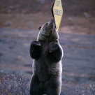 """Grizzly bear scratching his back on a ""Soft Shoulder""€ sign ("" stock image"