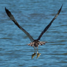 """Osprey catches two fish at the same time and grasps one in each"" stock image"
