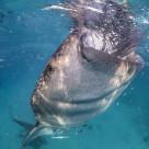 """""""Whale Shark Suction-Feeding at Oslob, Cebu, Philippines"""" stock image"""