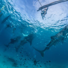 """""""Whale Sharks Feeding In The Philippines"""" stock image"""