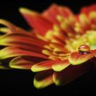 """Waterdrop on the petal of a orange Gerbera Daisy"" stock image"
