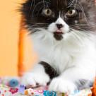 """Persian cat"" stock image"