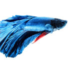"""Siamese fighting fish isolated on white background"" stock image"