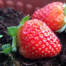 """""""Strawberry on the ground"""" stock image"""