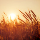 """Crop Field"" stock image"