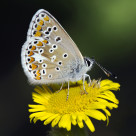 """""""Brown Argos Butterfly (Aricia agestis)"""" stock image"""