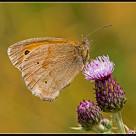 """Butterfly Meadow Brown (Maniola jutina) (II)"" stock image"