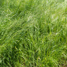 """Tall, uncut grass in a field"" stock image"