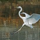"""Great White Egret (Ardea Alba)"" stock image"