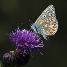 """""""Common Blue Butterly (Polommatus icarus) (IV)"""" stock image"""