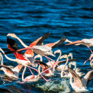 """Greater Flamingos in a wetland. Panic!"" stock image"