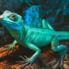"""Basiliscus plumifrons"" stock image"