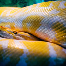 """Python molurus"" stock image"