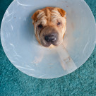 """sharpei dog wearing a protective veterinary collar"" stock image"