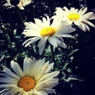 """Sunny day flower"" stock image"