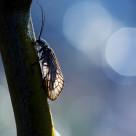 """Alderfly"" stock image"