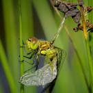 """""""Dragonfly Emergence"""" stock image"""