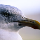 """See Gull"" stock image"