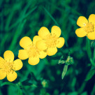 """Four Buttercups"" stock image"